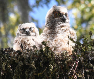 Couple of Great Horned Owl Chicks