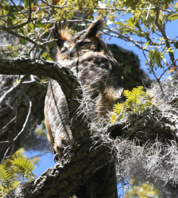 Moma - Great Horned Owl